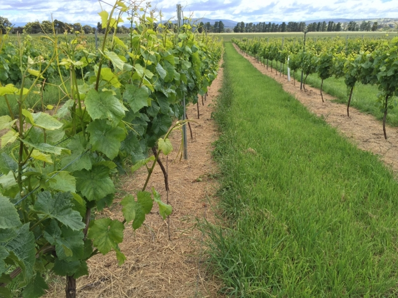 Chateau 90 days after application in a Tasmanian vineyard